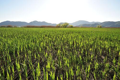 西の湖の葭(寿福滋氏撮影)